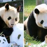 和歌山のパンダが交尾  2年ぶり、夏にも誕生か