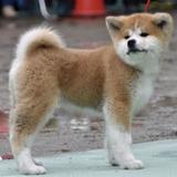 ザギトワ選手に贈られる秋田犬お披露目「まさに秋田美人」